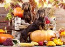 Rabbit Dachshunds and Pumpkins