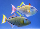 Crosshatch Trigger Fish