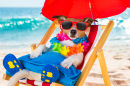 Jack Russell Terrier on Vacation