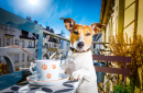 Jack Russell Terrier Having Tea