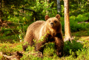 Brown Bear in the Finnish Forest