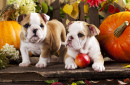 English Bulldogs and Pumpkins