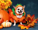 Chihuahua Dressed Up as a Pumpkin