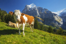 Cows high above Grindelwald, Switzerland