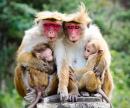 Red Face Macaque Monkeys