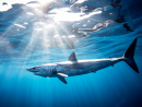 Mako Shark, Sea of Cortez, Mexico