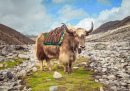 Yak on the Way to Everest Base Camp