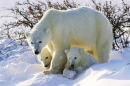 Polar Bear with Twin Cubs