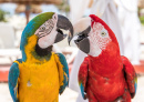 Macaw Couple, Cancun, Mexico