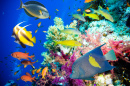 Tropical Fish in the Red Sea