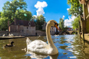 Swan in a Canal in Bruges, Belgium
