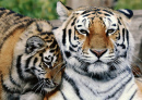 Siberian Tiger with Cub