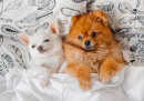Pomeranian Puppy and Little Chihuahua