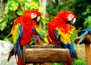 Couple of Parrots