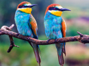 Couple of Rainbow Bee Eaters