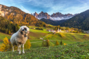 Lonely Sheep, Santa Maddalena, Italy