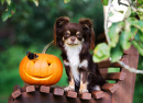Chihuahua with a Carved Pumpkin