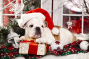 Christmas Bulldog Puppy