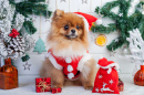 Pomeranian in Santa Clothing