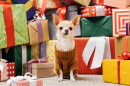 Chihuahua and Presents