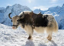 Wild Yak in the Snow