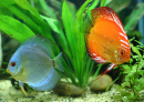 Discus Fish Family
