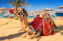 Camel of Hurghada, Egypt