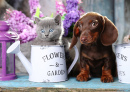 Dachshund Puppy and Scottish Kitten