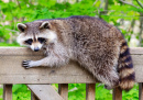 Raccoon Resting on the Railing