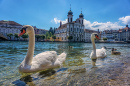 Swans Swimming in Luzern, Switzerland
