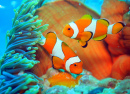 Clownfish Guarding Eggs