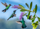 Violet Sabrewing Hummingbirds