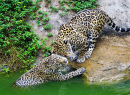 Jaguars Having Fun in the Pond