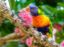 Rainbow Lorikeet on a Corymbia Tree