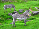 Zebras in the National Park