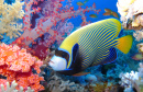 Angelfish and Corals