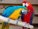 Scarlet and Blue-and-Yellow Macaws