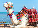 Camel Resting on the Egyptian Beach