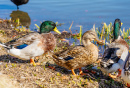 Mallards on the Shore