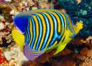 Royal Angelfish, Red Sea