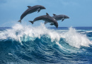 Dolphins Jumping over Breaking Waves, Hawaii