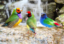 Gouldian Finch birds Taking a Bath