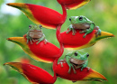 Australian White Tree Frogs