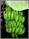 GREEN BANANAS puzzle on TheJigsawPuzzles.com