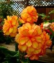 Orange Begonia