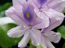 Pond Water Hyacinth