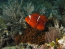 Spinecheek Anemone Fish